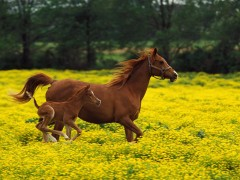 Baby-Horse-Running-Wallpaper-240x180